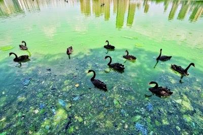 """东马沧湖蓝藻暴发 武汉动物园黑天鹅将""""搬家"""""""