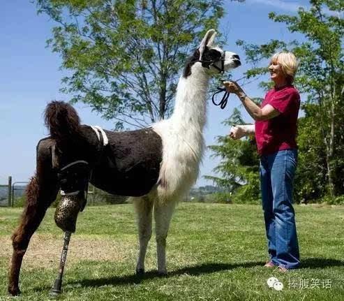 我虽渺小但努力活着 看残疾动物千奇百怪的假肢生活