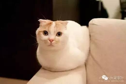 原标题:猫咪这个姿势太诱人,不行我受不了了 猫咪这个姿势太诱人,不行我受不了了 2016-08-23 宠物1评  pokke是一只来自日本的折耳猫,圆滚滚的特别可爱,窝在沙发一角,好不听话好可爱~手感也超级好!
