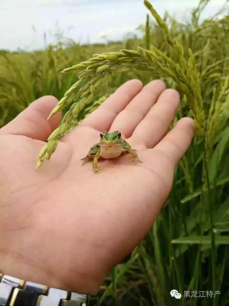 稻田里的青蛙