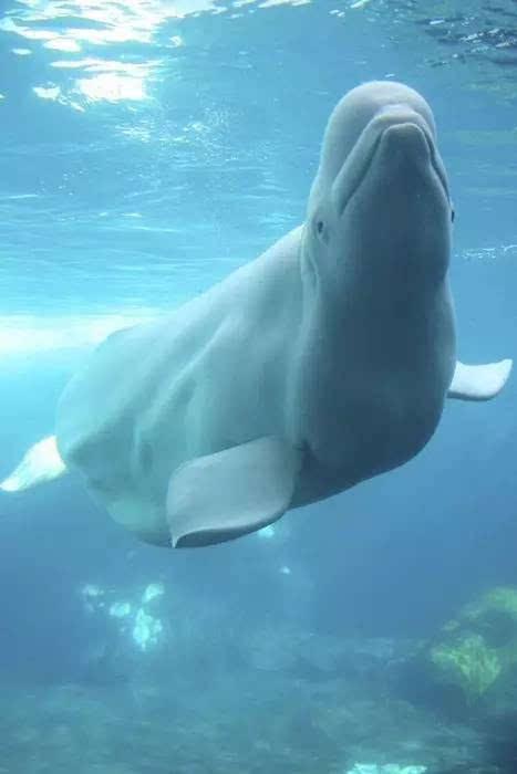 动物世界-白鲸beluga whale