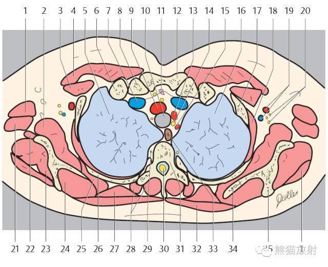 收藏!精美详细的胸部ct断层解剖图(双语)