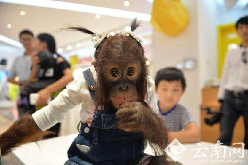 """【摘要】 8月24日,为了,云南野生动物园的""""网红""""红毛猩猩宝宝""""二毛"""""""