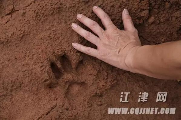 发现一串疑似猫科动物的脚印,当时报告了林业站和派出所,随即派出工作
