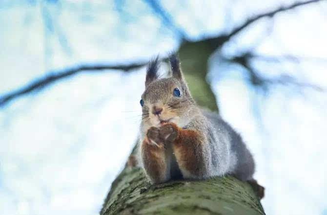 猜猜这个小朋友正在树上想什么呢? Konsta的脚步不仅仅只局限于这片森林,他还去过非常多的国家,只是他拍摄的焦点永远在于大自然。众多旅行经历中,他认为最神奇和最喜欢的地方是苏格兰和法罗群岛 ,那里冬天中的城堡,总让人产生一种误入童话世界的错乱感。当然,好的作品并不是轻轻松松就能拍出来的,Punkka外出探险拍照时,基本都是睡在帐篷里。他曾尝试过在英国郊区没有信号的情况下生活了8天,只为拍到这些神奇可爱的小动物。也许,正是因为这种零距离长时间的交流,才让他和它们建立了友好的关系,拍下这些近距离的照片,