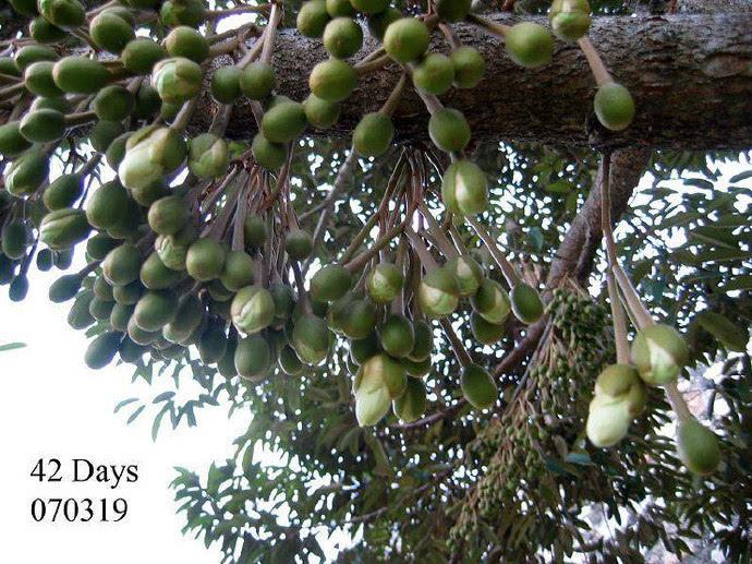 榴梿树可生长五六十年,与一般热带水果生长期短的特点不同,它生长15年