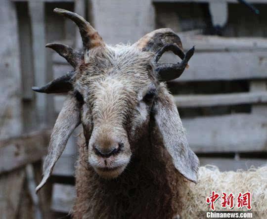 时局图放-在问及给羊都喂什么饲料时,买买提明.伊斯马伊力说,平时只喂食一些