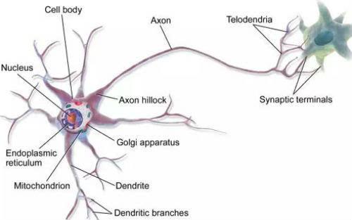 Cell子刊 了解大脑,人类首达神经元精度