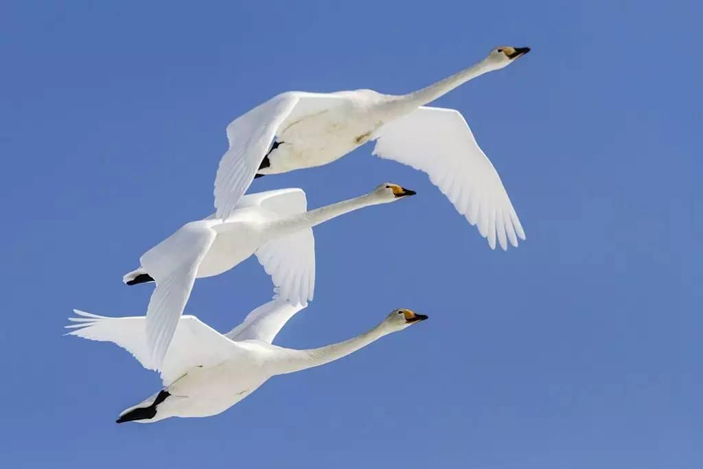有这么一个故事:有一年秋天,一群天鹅来到天鹅湖的一个小岛上。它们从遥远的北方飞来,准备去南方过冬。 岛上住着老渔夫和他的妻子,见到这群天外来客,非常高兴,拿出喂鸡的饲料和打来的小鱼精心喂养天鹅。冬天来了,这群天鹅竟然没有继续南飞。湖面封冻,它们无法获取食物,老夫妇就敞开茅屋让它们在屋子里取暖并给它们喂食,直到第二年春天湖面解冻。