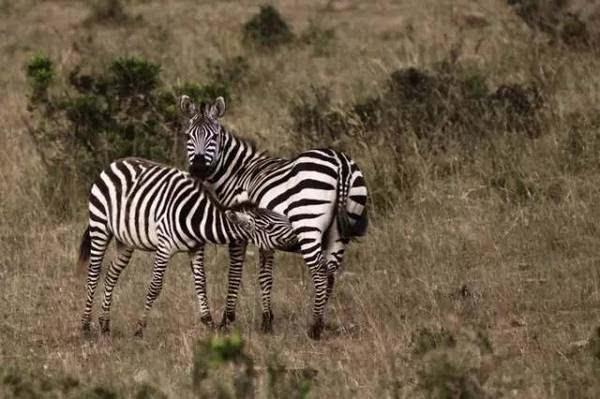 别人在动物园看猴子,你在肯尼亚追羚羊