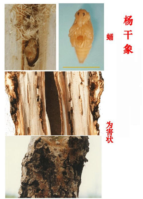 杨干象 crytorrhynchus lapathi l.