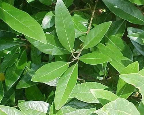 香叶即月桂树的叶子,有浓郁的香气,可用于汤,肉,蔬菜,炖食等.
