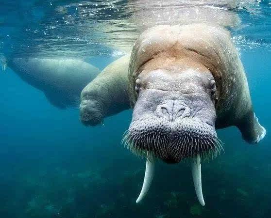 动物世界-海象walrus