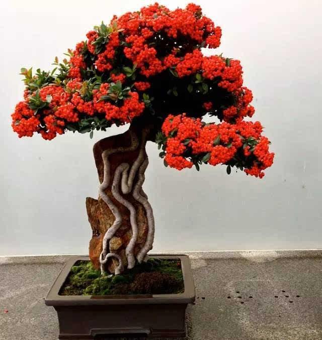 枫叶盆栽小制作图片