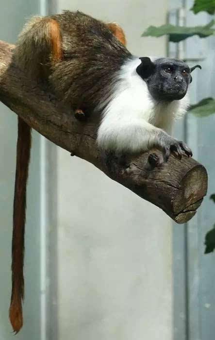 动物世界-黑白花狨