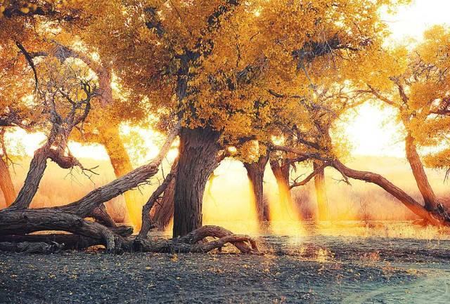 秋天,必须要去看一次胡杨林 这是秋天最耀眼的绚丽色彩,惊艳天地间