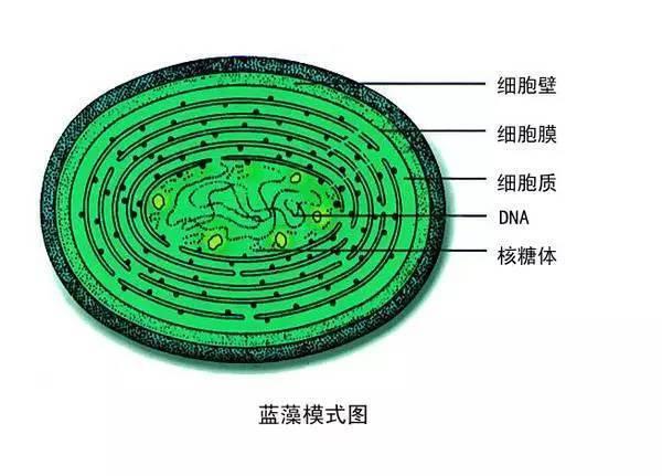 动物细胞结构自制模型