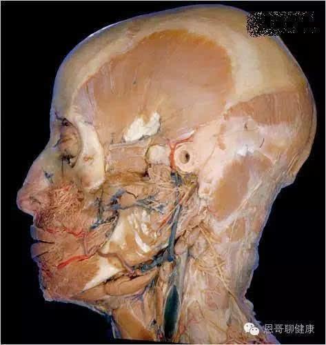 皮肤解剖结构图高清