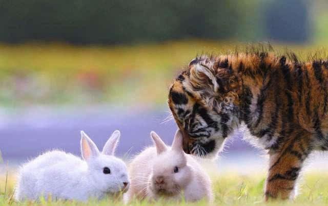 真实版《疯狂动物城》 老虎与狮子和睦相处图片