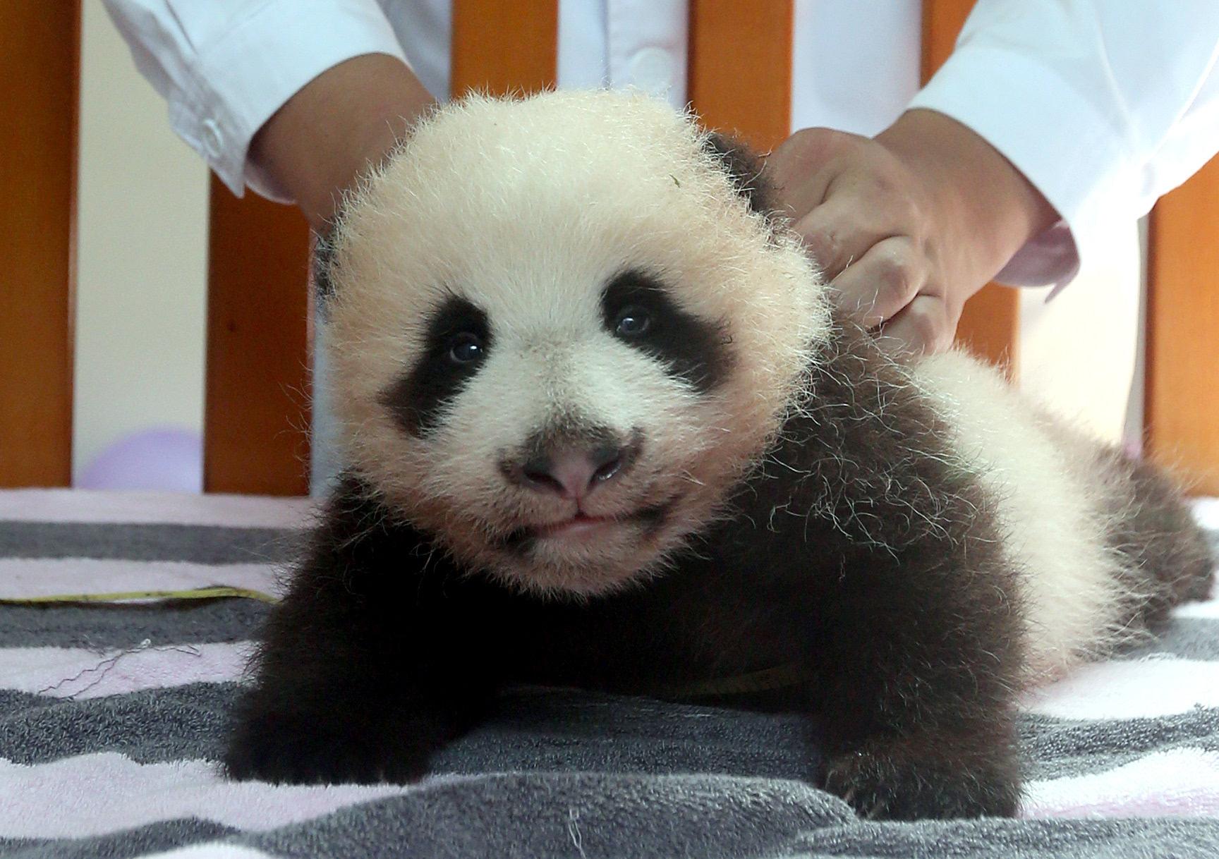 壁纸 大熊猫 动物 1728_1218