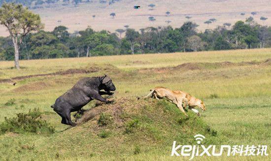 动物世界大逆袭 水牛捍卫领地赶走狮子
