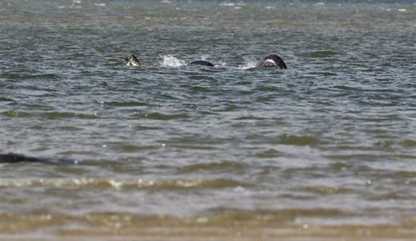 史上最清晰尼斯湖水怪照片曝光:黑鳞闪闪的照片 - 1