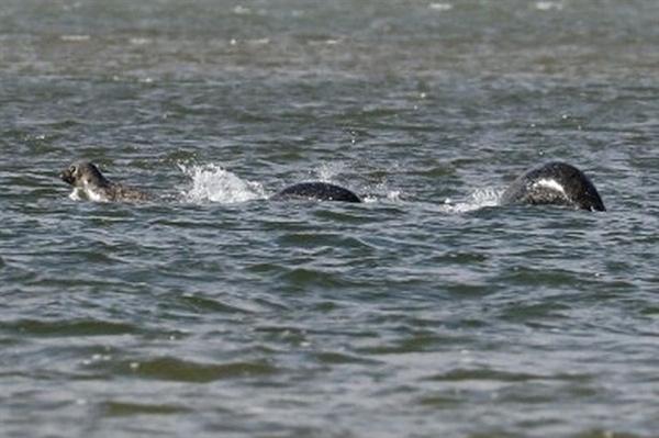史上最清晰尼斯湖水怪照片曝光:黑鳞闪闪的照片 - 2
