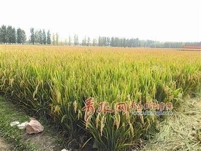 创纪录!青岛超级稻亩产超过980公斤