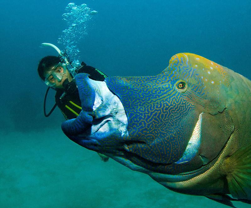 苏眉鱼在大堡礁海底上演 大吞活人