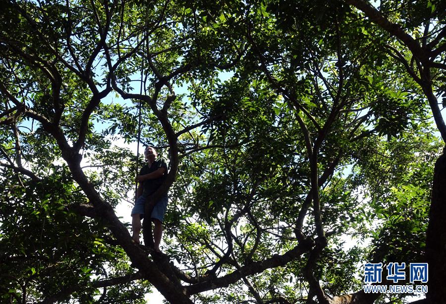 10月3日,一村民爬到橄榄树上打榄.新华网 崔凌云摄