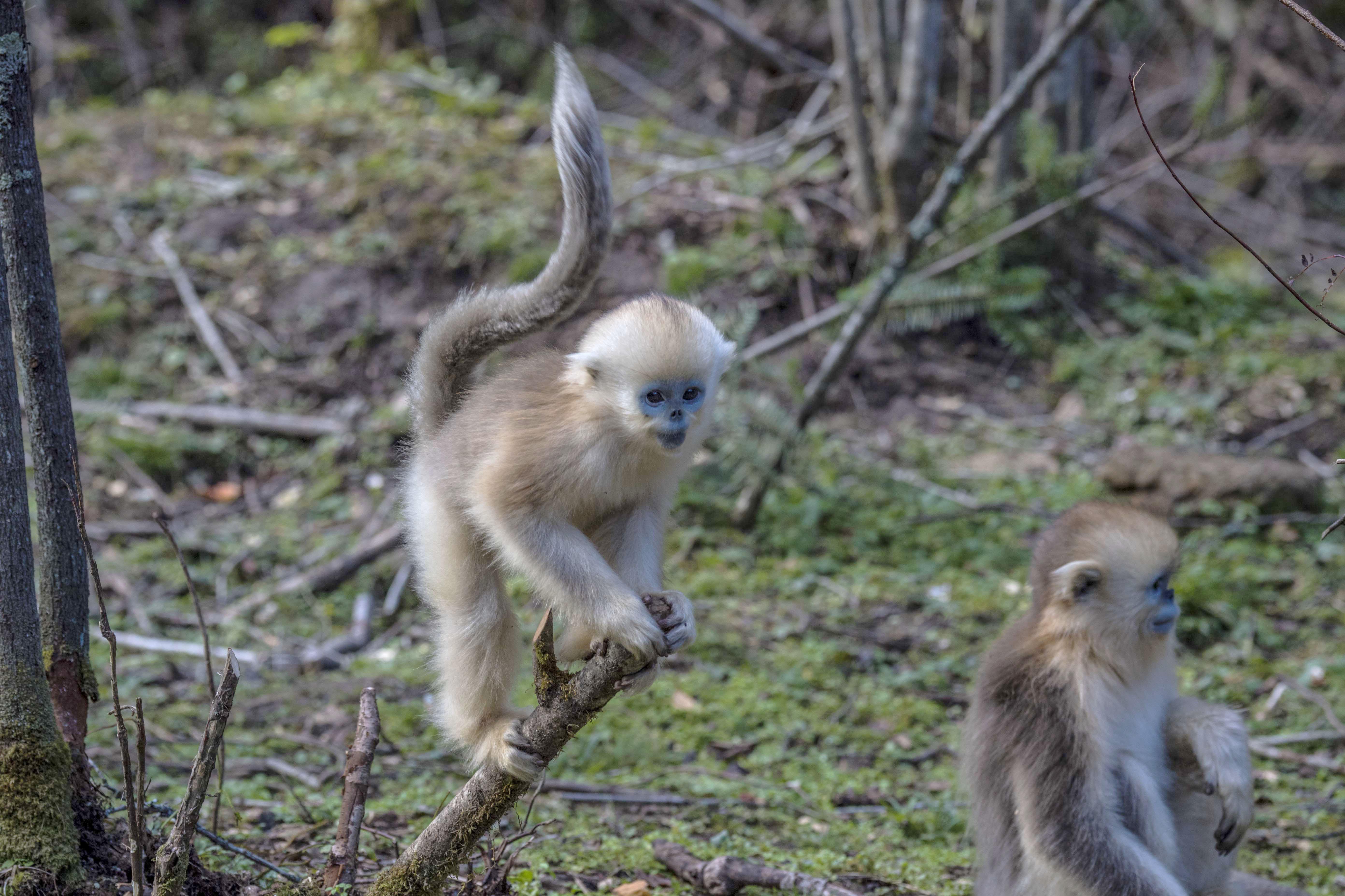 神农架金丝猴是川金丝猴的一个独立亚种,为国家一级保护动物.