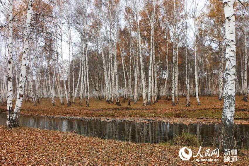 新疆:走进晚秋的哈巴河县白桦林