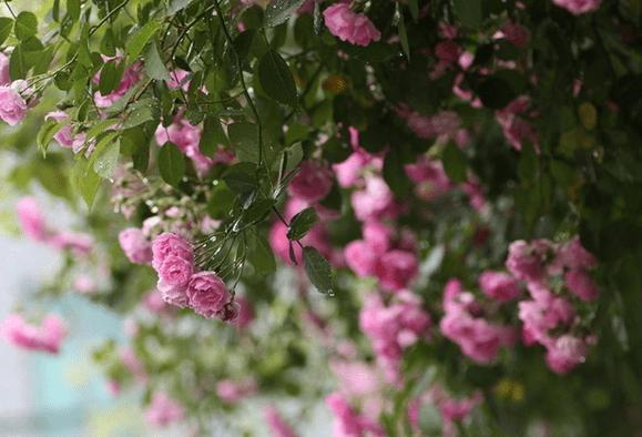 蔷薇   蔷薇花也是极美