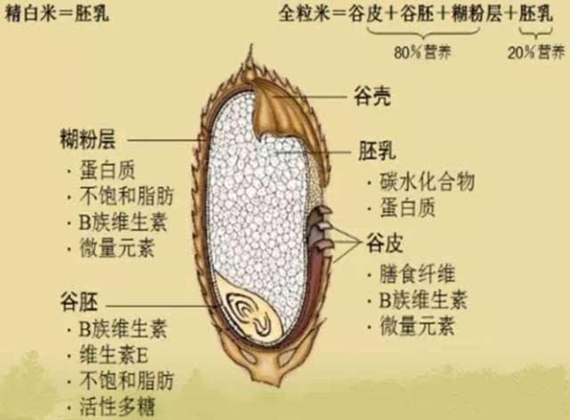 米粒由外到内的结构是:谷壳,谷皮,糊粉层,胚芽(谷胚←小胚芽和胚乳←