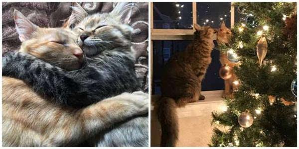 """这对猫咪情侣要火了今年最想要的圣诞礼物非它俩莫"""""""