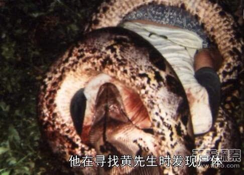 目前唯一蟒蛇食人事件发生在马来西亚,巨蟒在勒死受害者后,已经吞进了