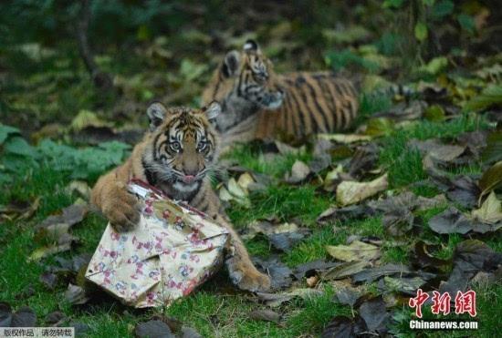 当地时间2016年12月15日,英国伦敦,伦敦动物园里的动物们得到了圣诞礼物。小老虎拆礼物略显焦躁,霸气十足。动物园饲养员在宣传拍摄中给动物们送圣诞礼物,提供特别的节日待遇。 伦敦动物园发放圣诞礼物霸气小老虎怒拆礼物