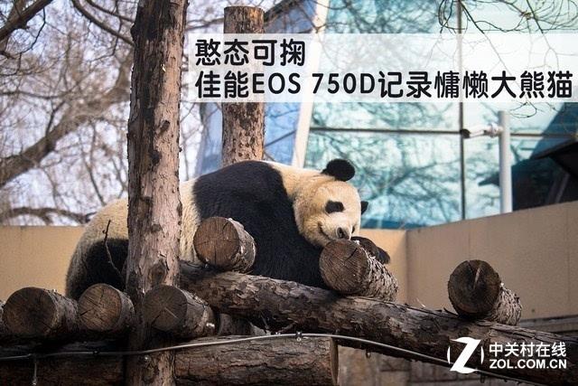 """憨态可掬 佳能EOS 750D记录慵懒大熊猫"""""""