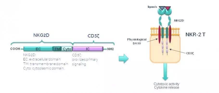 1,t细胞表面的car中不携带任何外来的可能引发患者免疫反应的蛋白结构