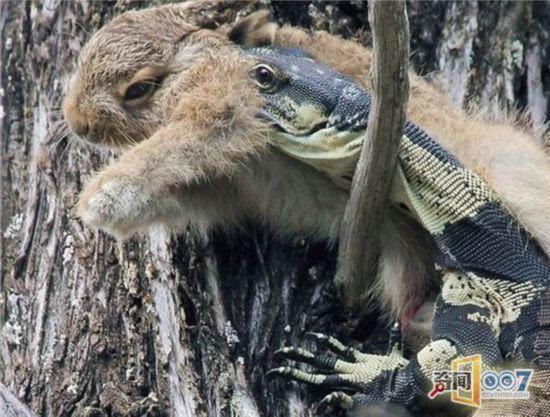 澳大利亚的动物 蟾蜍捕蛇猫吃袋鼠