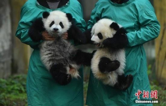 重庆动物园双胞胎大熊猫宝宝正式与游客见面