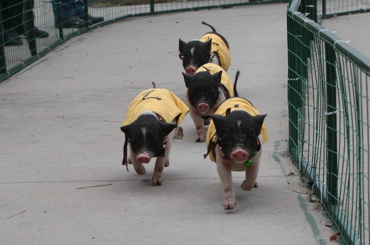 2015年2月20日,几只小猪在山东烟台动物园参加猪猪奔跑比赛.