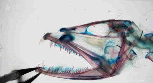 深海恐惧怪鱼!嘴能张开120度怪鱼科学家用X光揭秘
