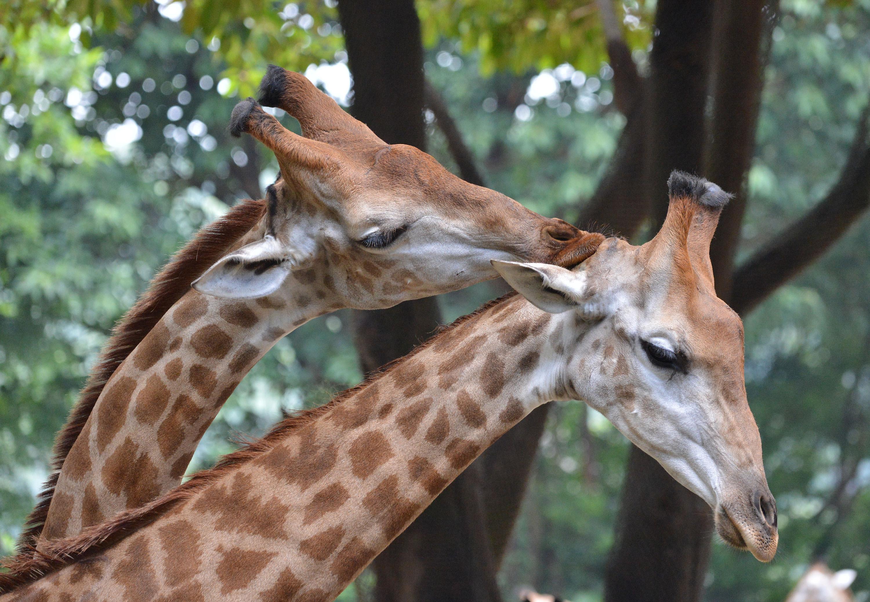 在广州长隆野生动物园,两头长颈鹿亲昵在一起(2015年7月27日摄).