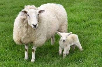 小羊天生5条腿