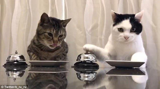 两只猫咪按铃训练主人给自己拿食物 笑翻网友