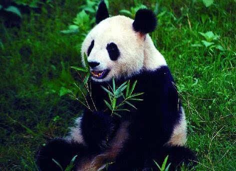 大熊猫鼻头变白是病了?武汉动物园说做体检才知道