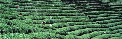 茶乡小镇成茶业转型新抓手