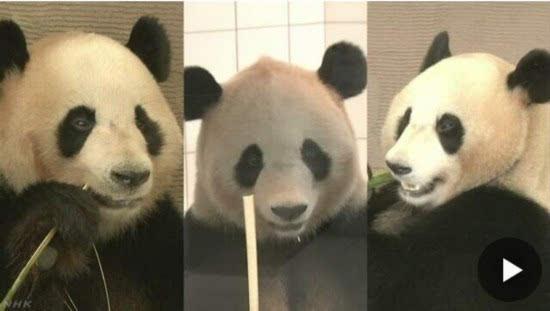 歌山县白滨町动物园的3只大熊猫为繁殖后代