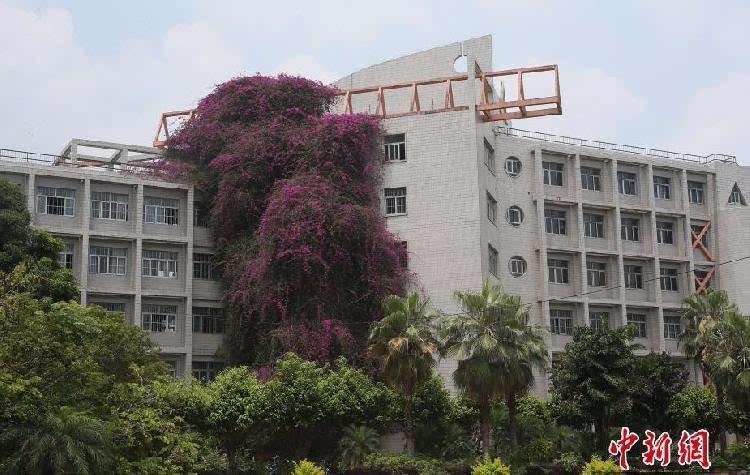 广西大学鲜花瀑布已有24年的树龄